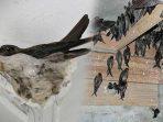 Ilustrasi Sarang Burung Walet. Foto : Internet
